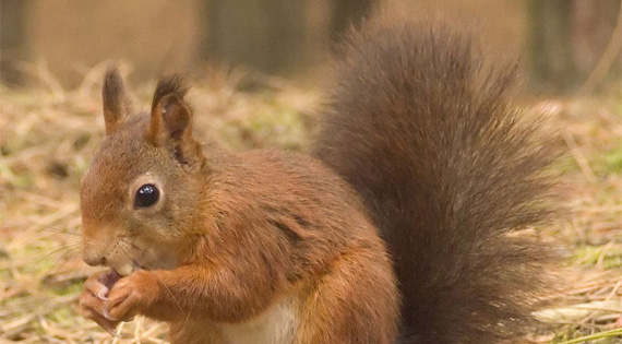 Mid-Wales Red Squirrel Project
